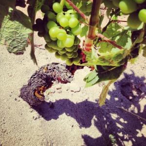 Liebt feinen Sand und viel Sonne: Carignano-Trauben in Canasta