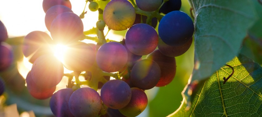 Weintrauben Gegenlicht